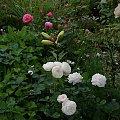 Artemis i Warwick Castle #kwiaty #odród #róże