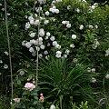Mme Plantier #kwiaty #odród #róże