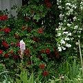 Flamentanz #kwiaty #ogród #róże