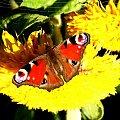 #motyl #kwiat #słoncznik #natura #przyroda