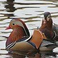 Mandarynki-para #kaczki #przyroda