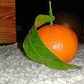 jak widać mandarynka. Tata przyniusł mandarynki od razu ją znalazłam, nie wiem jak wy, ale ja widziałam pierwszy raz mandarynkę z liściem #kolczyki #mandarynka #pierwsze