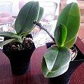 Moje storczyki #storczyki #phalaenopsis #dendrobium #aphrodite #afrodyta
