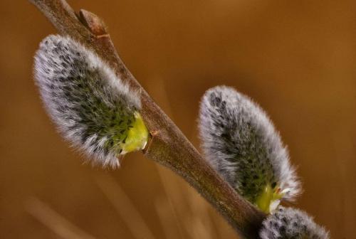 Lubie jak przyroda budzi sie do zycia, a w tym roku wyjatkowo wczesnie i miejmy nadzieje ze juz zima nie wroci :) #bazie #wiosna