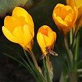#krokus #krokusy #kwiaty #wiosna