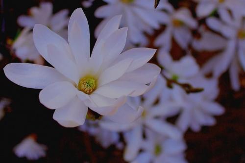 Magnolia, też...