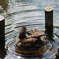 kąpiel #kaczki