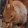 ruda #wiewiórka