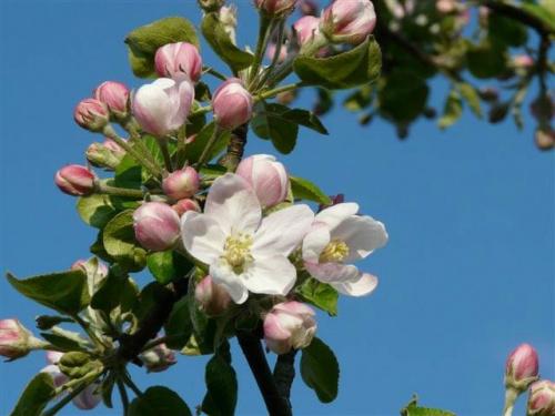 Kwiat jabłoni #bratki #kwiaty #ogród #rośliny