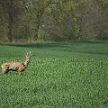 W świecie wiosny #fotosik #fotmart #dzikapolska #wiosna #bocian #jelonek #wojtekwrzesien #fotografia #natura #krajobraz #las #kwiaty #Drozdowo