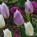 kwiaty 2014 #tulipan #tulipany #TulipanyTriumph #Triumph #TulipanyGrupyTriumph