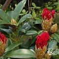 kwiaty maj #różanecznik #rhododendron