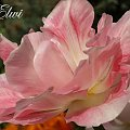kwiaty maj #tulipan #tulipany #TulipanAngelique #Angelique #Andżelika
