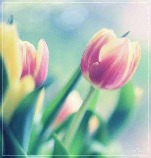 próba freelensing #kwiaty #tulipany