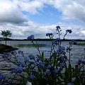 niezapominajki #jeziro #kwiaty #niezapominajki #przyroda #wiosna