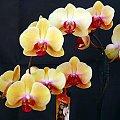mojstorczyk.pl #storczyk #storczyki #orchidea